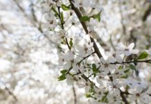 桜の花のようで違うフルーツレスペアツリー