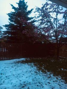 昨日も今日も雪です!  せっかく庭の木にピンクの花が満開だったのに・・。涙
